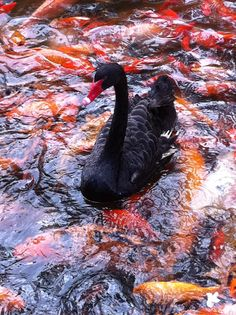 I saw this beautiful swan, in of all places, Hawaii! It's contrast against a pond of kois was stunning.