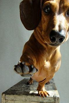 daschund   Tumblr My little doggie!♥