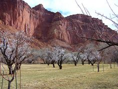BLOOMING ORCHARD, Capital Reef National Park in Southern Utah