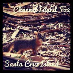 Photo: Channel Island Fox | Santa Cruz Island #wildlife #california via Instagram | My Word with Douglas E. Welch