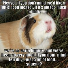 When you are looking for a furry friend that is not just adorable, but simple to have, then look no further than a family pet rabbit. Guinea Pig House, Baby Guinea Pigs, Guinea Pig Care, Baby Pigs, Guinea Pig Quotes, Cute Little Animals, Cute Funny Animals, Small Animals, Guniea Pig