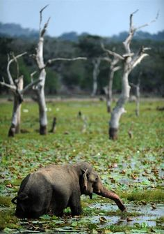 funnywildlife: Elephant Swim!!An elephant walks in a lake at Yala National Park near Colombo, Sri Lanka on July 24.by Ishara S.kodikara