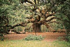 Gnarly tree in Charleston, SC. Shot by Daniel Shea