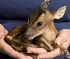 Baby Muntjac deer  |  photo Jeff Moore. I have looked into getting one of these awesome creatures. They are so cool! But they are wild animals and whatnot.