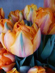 Ruhe und Gelassenheit Rose, Flowers, Plants, Pictures, Pink, Plant, Roses, Royal Icing Flowers, Flower