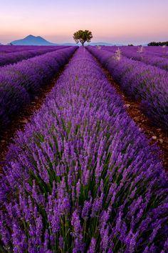Lavender – during a learning process … - Modern Unicornios Wallpaper, Purple Wallpaper Iphone, Lavender Garden, Lavender Fields, Lavander, Lavender Aesthetic, Purple Aesthetic, Lavender Benefits, Oil Benefits