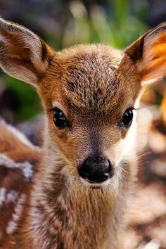 "prettypicsdelightfultips: "" lolcuteanimals: "" Beautiful little fawn. "" Such a beautiful animal! """
