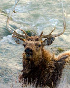Bull Elk enjoying the river Bull Elk, Antlers, Moose Art, Wildlife, River, Amazing, Animals, Horns, Animales