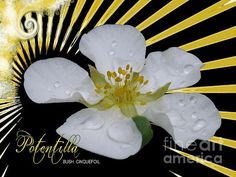 'Potentilla' Fine Art Photography/Digital Art by Margaret Newcomb.  Closeup shot of a hardy Potentilla flowering bush with raindrops on the petals. Digital text and background touches. Fine Art Prints