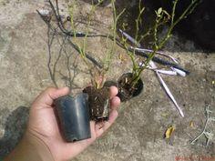 Tutorial: como reproducir rosales por esquejes - Foro de InfoJardín