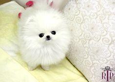 Baby La Prairie * White Micro Teacup Pomeranian