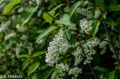 Metsätuomi (prunus tenella)