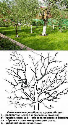 Как омолодить старое дерево | Дача - впрок
