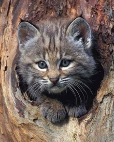 Bobcat-kitten-in-Tree Refuge helps injured cats heal