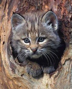 Bobcat-kitten-in-Tree Refuge helps injured cats heal