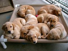 SEVEN yellow labs!