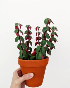 "Olivra Homedecor on Instagram: ""Peperomia Red Log aka Verticillata😍 Tag Someone that needs to see this one!👇🏻❤ 🌿Follow us for more @olivra.houseplants 👉🏻Follow us for more…"""