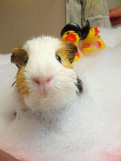 guinea pig taking a bubble bath. . .aww!