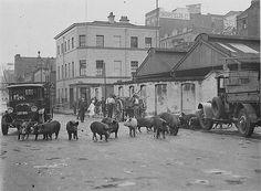 Twenty four pigs being driven along Day Street, Sydney, by a truck, ca. 1929 / Sam Hood