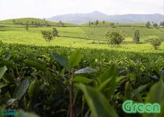 Tea Pricing - What Makes Tea Expensive, Part 2