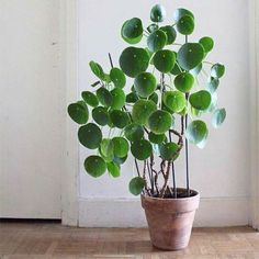 Chinese Money Plant                                                       …