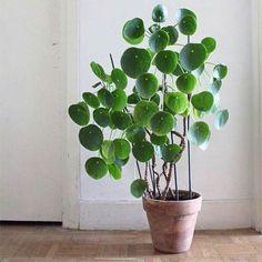 Chinese Money Plant                                                       …