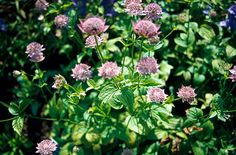 Astrantia - Largest masterwort. Astrantia are clump-forming herbaceous perennials with palmately lobed basal leaves and branched, erect, wiry stems bearing compact umbels of tiny flowers surrounded by a rosette of showy bracts.
