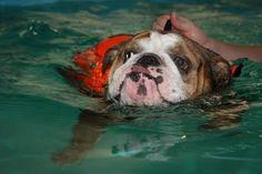 Swimming #Bulldog