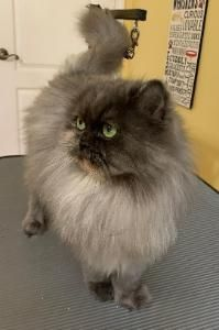 Persian and himalayan kittens for sale Himalayan Kittens For Sale, Kitten For Sale, Persian, Cats, Gatos, Persian People, Persian Cats, Cat, Kitty
