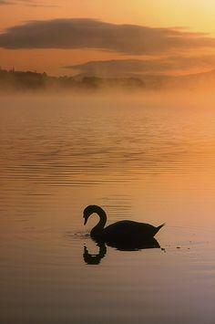 Silhouetted Swan on Lough Leane, Lakes of Killarney, County Kerry, Ireland ~~~ Photo: The Irish Image Collection