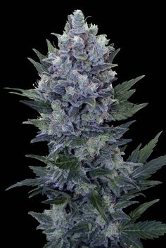 Northern Light Automatic Feminised Seeds by the cannabis breeder Royal Queen Seeds, is a Autoflowering Feminised marijuana strain.This Feminised seed grows well in Indoors, Outdoors conditions. Additionally it can be expected to grow into a Medium, Tall plant reaching 90 -120 cm.This strain has Northern light x Autoflowering strains Genetics. It has a Medium (10-15%) THC Content. The CBD content of the strain is Medium (1-5%).