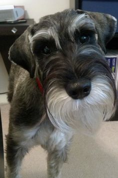 Schnauzer Grooming: For a snow white beard, sprinkle 1/2 teaspoon of powdered buttermilk over the dog's food. This balances the PH of the dog's saliva and prevents red staining on the beard and feet, plus dogs love it. Great tip!