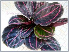Our recently purchased Calathea roseopicta 'Dottie' (Calathea Dottie, Rose-painted Calathea Dottie, Rose-painted Prayer Plant Dottie), July 6 2015 Prayer Plant, Calathea, Houseplants, Plant Leaves, Landscape, Stems, Rose, Nature, Pink