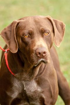●9•23•17 SL●  ■TENNESEE■ Bruno is an adoptable Labrador Retriever searching for a forever family near Johnson City, TN. Use Petfinder to find adoptable pets in your area.