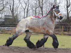 unusual horse breeds - Belgian Brabant stallion