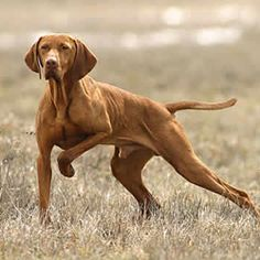 The Hungarian Shorthaired Vizsla is a strikingly colored hunting dog from Central Europe. His short, dense coat of rich red color will always look shi Most Beautiful Dog Breeds, Beautiful Dogs, Wirehaired Vizsla, Redbone Coonhound, Hungarian Vizsla, Dog Shop, Weimaraner, Vizsla Puppies, Hunting Dogs