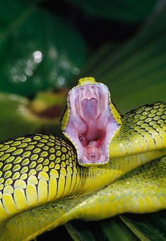 Sedge Viper Striking With Mouth Open . Baby Animals Kissing, Cute Baby Animals, Medusa, Deadly Creatures, Mouth Drawing, Photo Animaliere, Animals Amazing, Mouth Open, Serpent