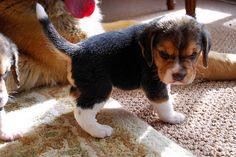 He's so cute when he's grumpy - http://puppypicturesplease.com/hes-so-cute-when-hes-grumpy/  #puppies #dogs #cute