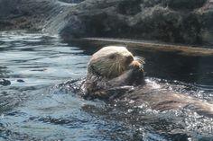 Its a sea otter havi