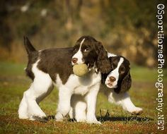 Sporthorsephotography.net: 2010 English Springer Spaniel Calendar