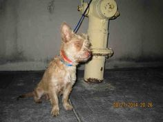 TERRA (A1639499) I am a female tan Terrier mix.  The shelter staff think I am about 2 years old.  I was found as a stray and I may be available for adoption on 09/02/2014. — hier: Miami Dade County Animal Services. https://www.facebook.com/urgentdogsofmiami/photos/pb.191859757515102.-2207520000.1409262729./831148603586211/?type=3&theater