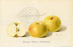 Apfel, Apfelsorte: Weißer Winter-Taffetapfel