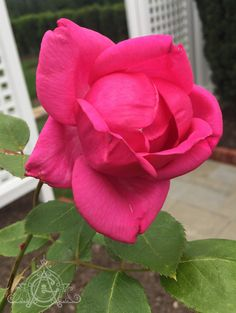 my in my own rose A deep pink, and very old gardenof my in my own rose A deep pink, and very old garden Fall Eyeshadow Looks, Blue Eyeshadow Looks, Organic Gardening Tips, Old Ones, Roses, Deep, Flowers, Plants, Popular