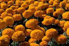 Marigold - Cempasuchil or Flor de Muertos in Spanish