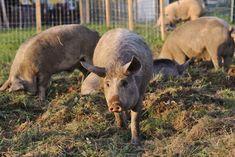 Unsere Schweine werden nur mit BIO-Getreide und unserem eigenen Bio-Klee und Bio-Heu gefüttert. Animals, Grains, Hay, Animales, Animaux, Animal, Animais