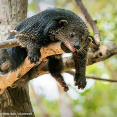 Save The Binturong From Habitat Loss!  Deforestation and agriculture are threatening the rare and elusive binturong. Help save them!