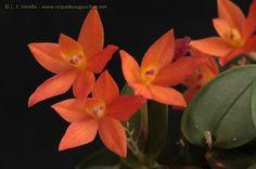 :: Orquídeas do Rio Grande do Sul ::