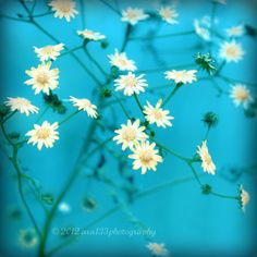 Yellow Aquamarine Blue Flowers Photography  by ara133photography,