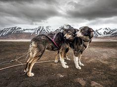 Svalbard Huskies by Luis Vasconcelos - Photo 163942873 / 500px