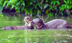endangered giant river otters in Lake Sandoval in Tambopata Reserve